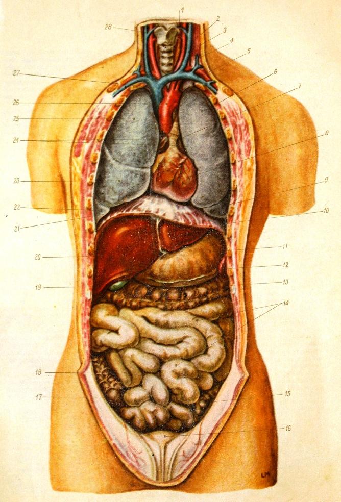 Где находятся органы человека фото