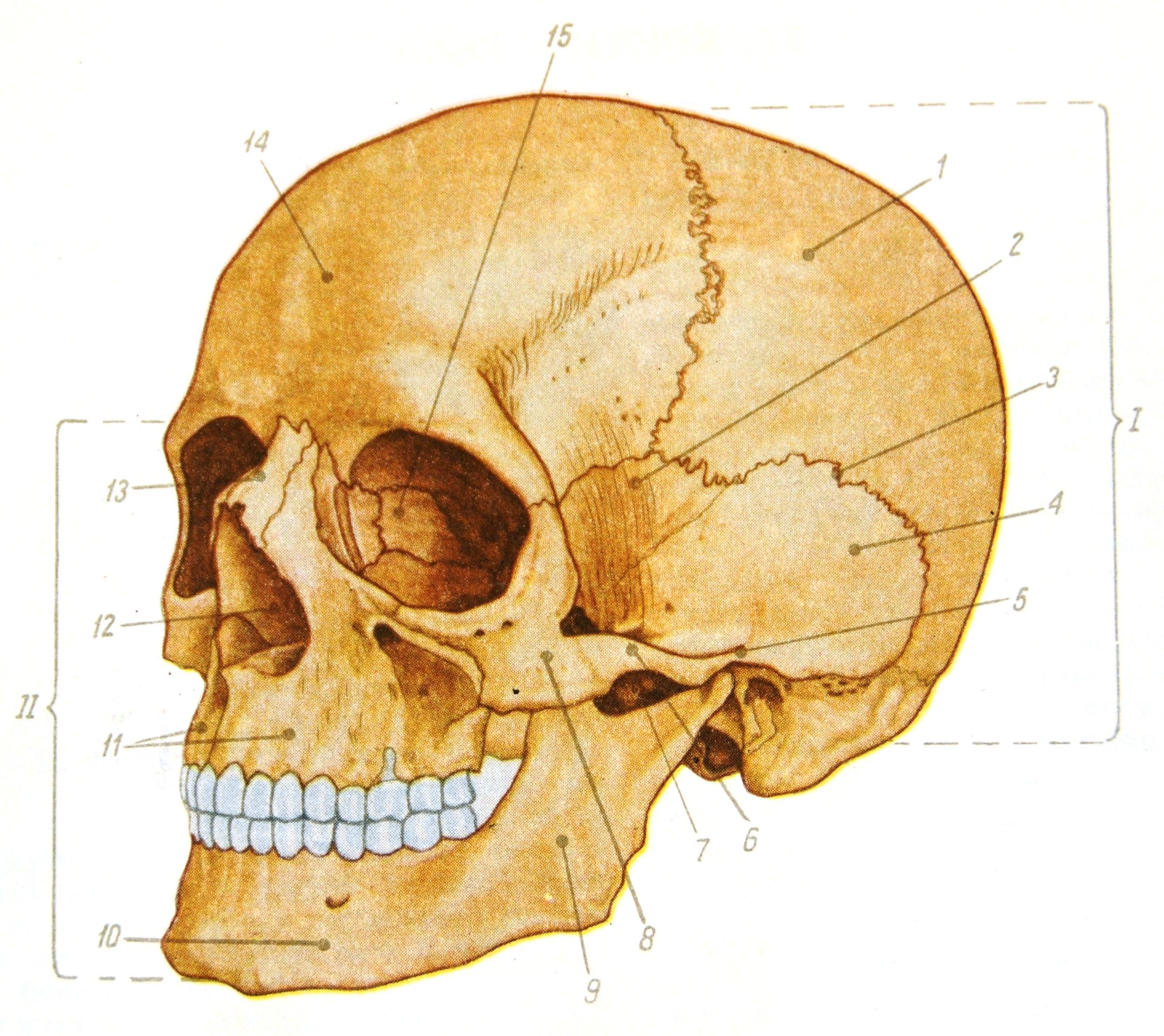 Фото настоящего черепа человека скуловая кость 5